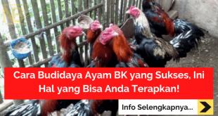 Cara Budidaya Ayam BK yang Sukses, Ini Hal yang Bisa Anda Terapkan