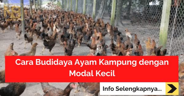 Cara Budidaya Ayam Kampung dengan Modal Kecil
