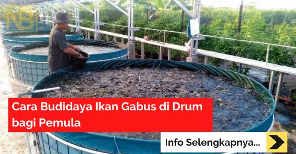 Cara Budidaya Ikan Gabus di Drum bagi Pemula