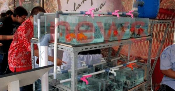 Cara Budidaya Ikan Hias Air Tawar (2)