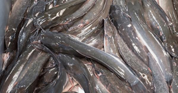 Cara Budidaya Ikan Lele di Kolam Terpal Untuk Pemula