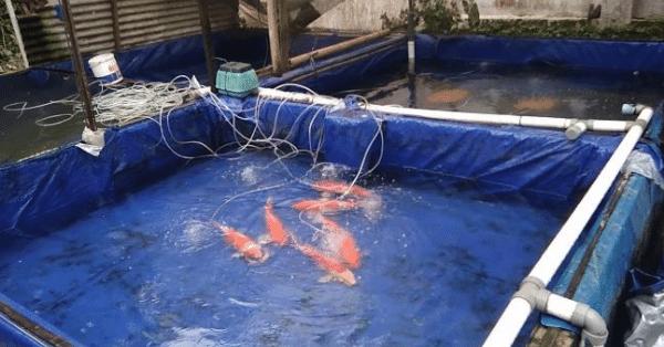 Cara Budidaya Ikan Mas di Kolam Terpal (2)