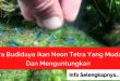 Cara Budidaya Ikan Neon Tetra Yang Mudah Dan Menguntungkan