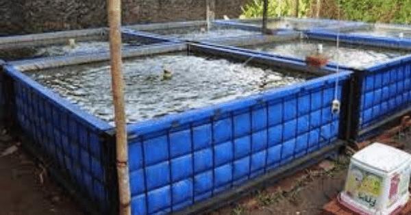 Cara Budidaya Ikan Nila di Kolam Terpal Untuk Pemula (2)