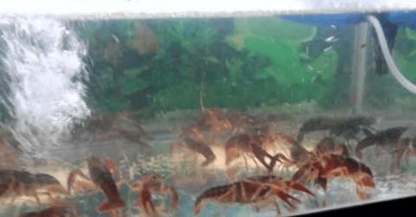 Cara Budidaya Udang Air Tawar di Aquarium Rumah (1)