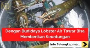 Dengan Budidaya Lobster Air Tawar Bisa Memberikan Keuntungan