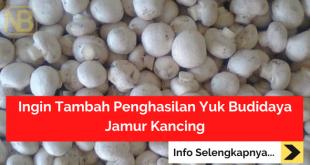 Ingin Tambah Penghasilan Yuk Budidaya Jamur Kancing