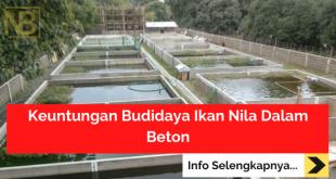 Keuntungan Budidaya Ikan Nila Dalam Beton